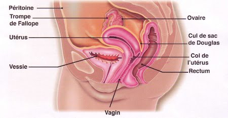 """Planche d'anatomie de l'appareil reproducteur dit """"féminin"""".: péritoine, trompe de Fallope, utérus, vessie, ovaire, cul de sac de Douglas, col de l'utérus, rectum."""